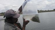 Produtores rurais de Barra do Choça recebem 40 mil alevinos de tilápia