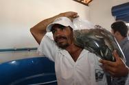 Agricultores de Ipiaú recebem 60 mil alevinos de tilápias