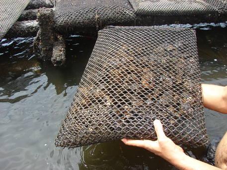 A produção de ostras na Baía de Todos os Santos recebe um grande impulso nesta semana.